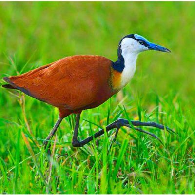 Jacana Bird page 2